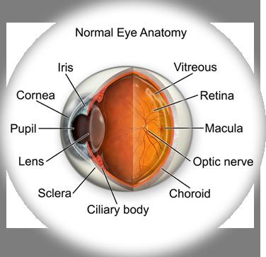 Eye Anatomy Thomas Vision Clinic Of Leesville La